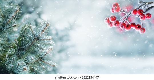 Snowfall in winter forest, spruce branches and mountain ash in forest on blurred background during blizzard