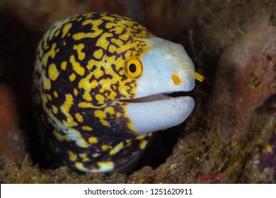 Snowflage moray eel peeking out of its hole - Echidna nebulosa