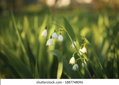Snowflake blooms a bell-shaped flower with green spots at the tip of the white petal downward.