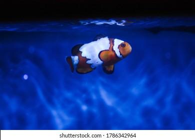 Snowflake clownfish in saltwater tank