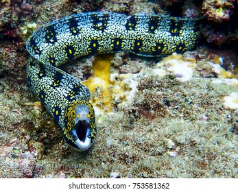 Snowflake Eel with Yellow Nostrils Facing Camera