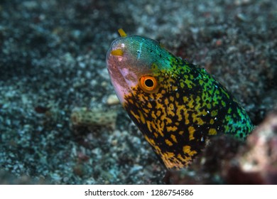 The snowflake moray (Echidna nebulosa) also known as the clouded moray,portait.