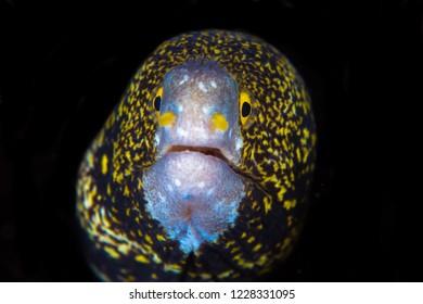 Snowflake moray eel - Echidna nebulosa