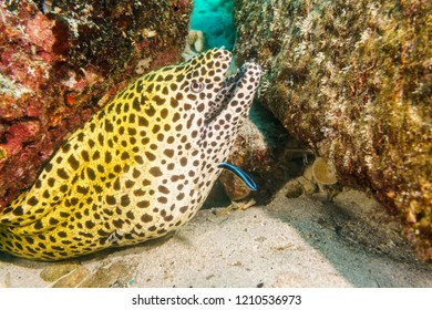 Snowflake Moray on Atoll of the Maldives.