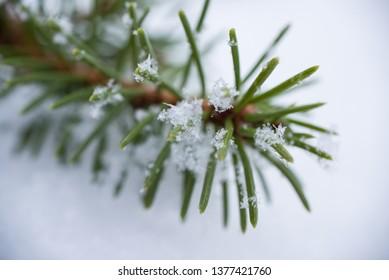 Snowflakes on a fir branch. Macro photo. Natural photo.