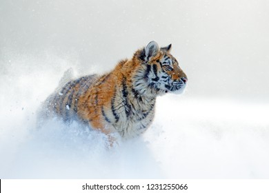 Snowflakes with wild cat. Tiger in wild winter nature, running in the snow. Siberian tiger, Panthera tigris altaica. Action wildlife scene with dangerous animal. Cold winter in taiga, Russia.