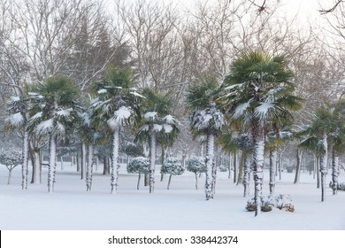 Snowing in garden or urban public park with winter trees and Chusan palm colony Spotlight