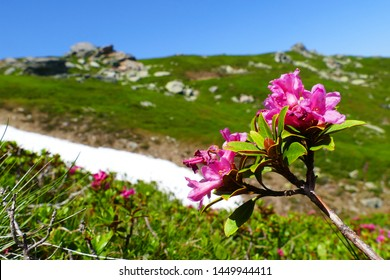 Snow-rose, or rusty-leaved alpenrose (Rhododendron ferrugineum) in bloom in front of snow remains of the last winter - near the mountain Geierkogel, Carinthia, Austria