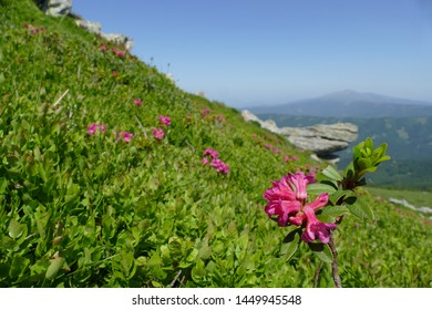 Snow-rose, or rusty-leaved alpenrose (Rhododendron ferrugineum) in bloom - near the mountain Geierkogel, Carinthia, Austria