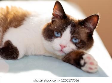 snowshoe cat portrait at home