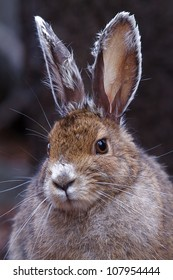 Snowshoe Hare, close up portrait, facing slightly to the left