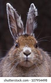 Snowshoe Hare, head shot facing directly toward camera