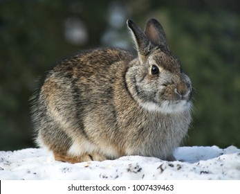 Snowshoe Hare Rabbit - Lepus americanus - or varying hare on snow in winter