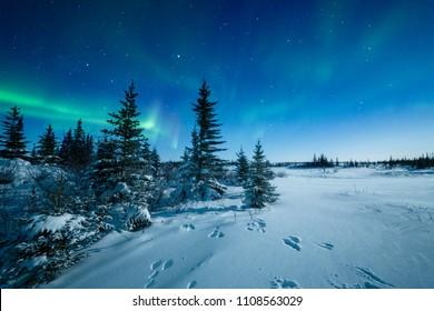 Snowshoe Hare Tracks And The Aurora Borealis