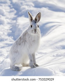Snowshoe hare or Varying hare (Lepus americanus) posing in the winter snow in Canada