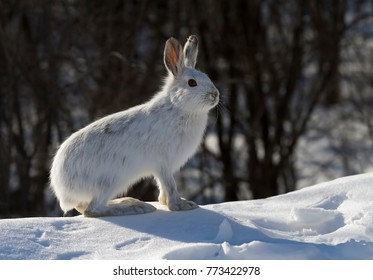 Snowshoe hare or Varying hare  (Lepus americanus) in winter in Canada