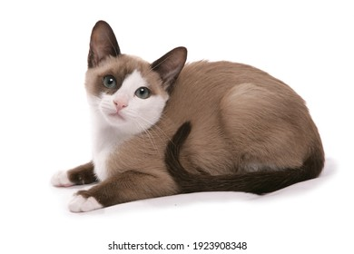 Snowshoe kitten isolated on a white background