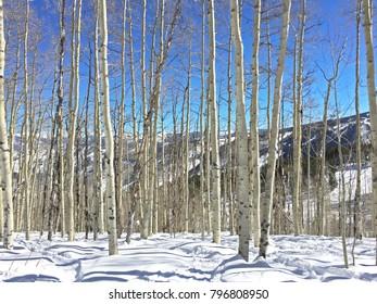 Snowy Apsen Trees