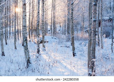 Snowy birch forest and sun light