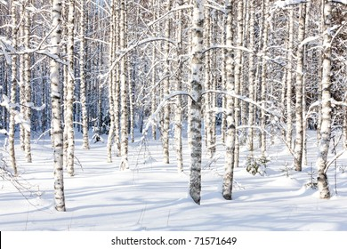 Snowy birch trunks and branches in a wintry forest on sunny day