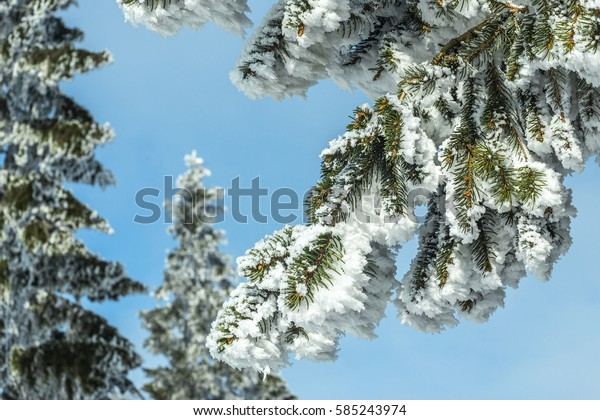Snowy branches with blue sky.