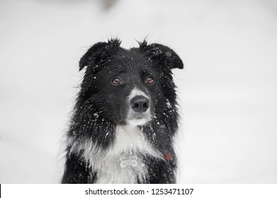 snowy close-up portrait of the border collie dog