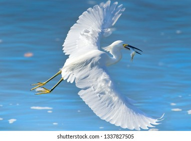 snowy-egret-action-catch-full-260nw-1337