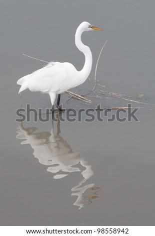 Great Egret On Prowl >> Snowy Egret Ardea Alba Prowls Murrells Stock Photo Edit Now