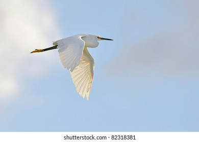 snowy egret, backlit by morning sun, in flight against partly cloudy sky