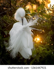 Snowy egret backlit at sunset