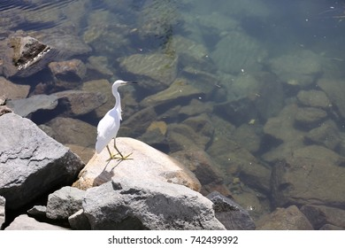 Snowy Egret Bird on the West Coast