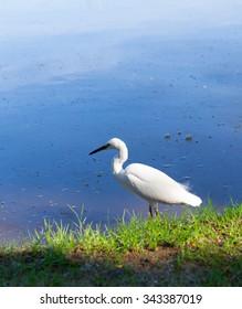 Snowy Egret bird in park