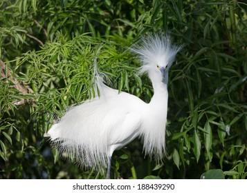 Snowy Egret in Breeding Plumage in Florida Swamp