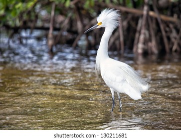 Snowy Egret in breeding plumage.  Migration at Ding Darling Wildlife Preserve in Sanibel Island, Florida