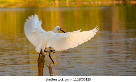 Snowy Egret by Pool in the evening
