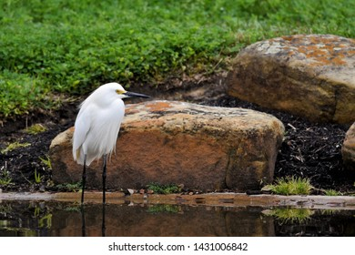 A Snowy Egret captured with his reflection