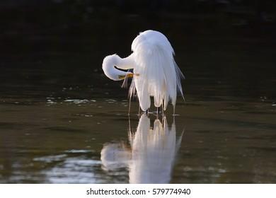 Snowy Egret in coastal lagoon Fort Myers Beach Florida USA