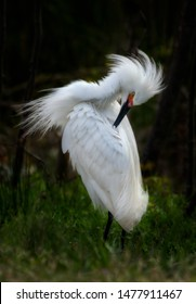 Snowy egret combing its feathers