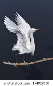 Snowy Egret, Egretta thula, an adult breeding plumage bird taking off with nesting material