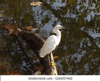 The snowy egret (Egretta thula) is a beautiful small white heron.