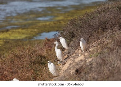 Snowy Egret, Egretta thula, bird forages in a marsh in Huntington Beach, Southern California.