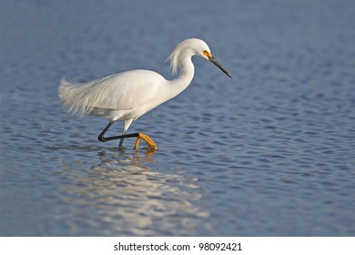 Snowy Egret (Egretta thula) in breeding plumage wading in shallow water with reflection - Fort Myers Beach, Florida