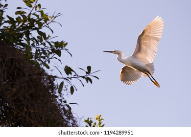 Snowy Egret (Egretta thula) flying in the Pantanal, Brazil