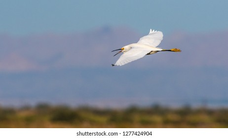 Snowy Egret (Egretta thula) flying with tongue out in Unit 1, Sonny Bono Salton Sea National Wildlife Refuge.