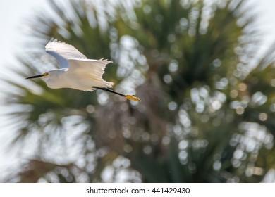 Snowy Egret (Egretta thula) Flying, Merritt Island National Wildlife Refuge, Florida