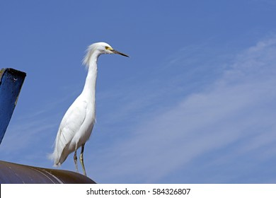 Snowy egret, Egretta thula, heron species which occurs in the Americas, from Canada to Argentina, with blue sky on background