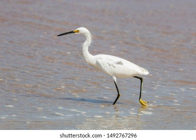 Snowy egret (Egretta thula) on the beach in Florida