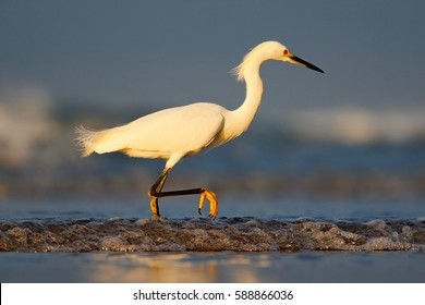Snowy Egret, Egretta thula, on the coast. Bird with the dark blue sea. Heron in the water, Costa Rica. First light with bird.
