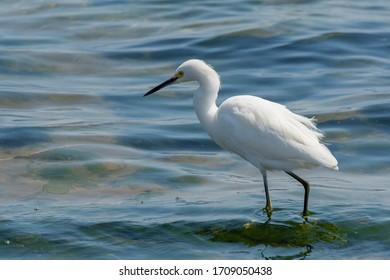 Snowy egret (Egretta thula) Paracas, Peru
