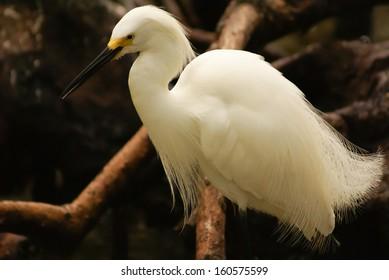 Snowy Egret (Egretta thula), Rosario Archipelago, Cartagena de Indias, Colombia, South America